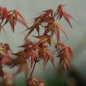feuille erable palmatum