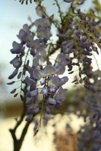 glycine - fleurs de mai