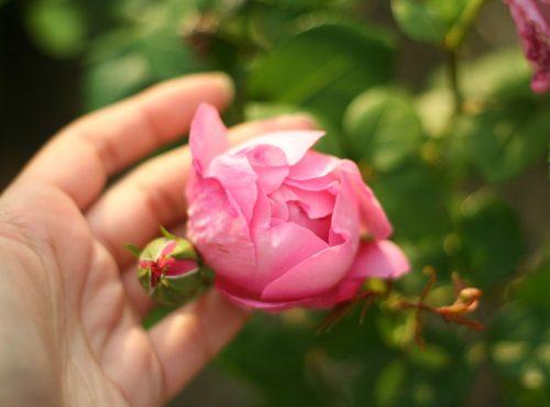 entretien des rosiers