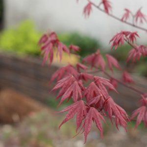 feuille erable du japon feuillage arbuste acer palmatum jardin japonais. Black Bedroom Furniture Sets. Home Design Ideas