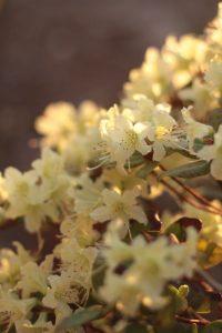rhododendron plante en pot