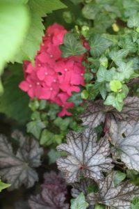 heuchere amethyst Mist' hortensia macrophylla hedera