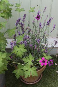 association géranium les fleurs du jardin