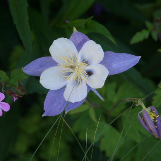 ancolie fleur jardin été
