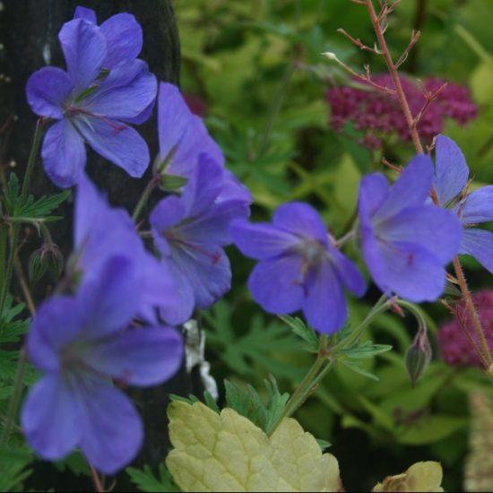 g ranium vivace 39 orion 39 une vivace floraison bleue dans les massifs. Black Bedroom Furniture Sets. Home Design Ideas