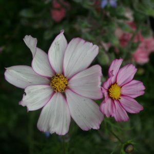 cosmos plan de jardin