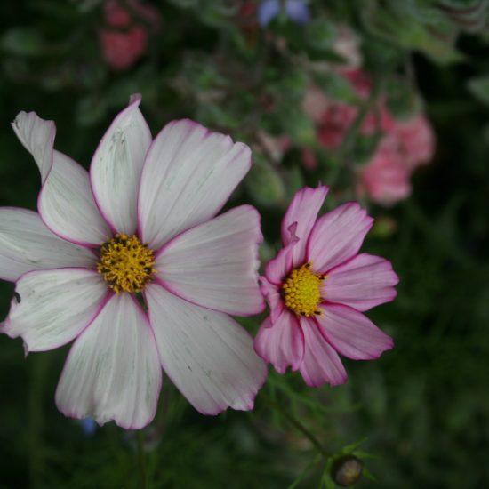 fleurs cosmos annuelles
