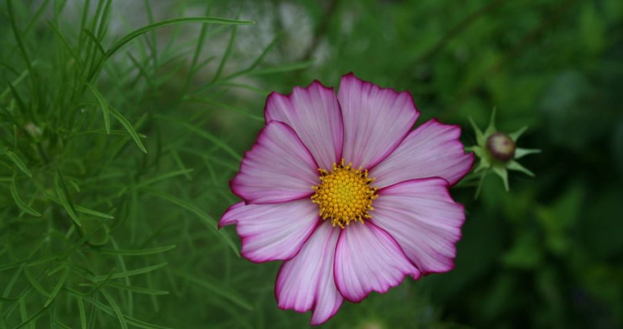 jardin des fleurs cosmos