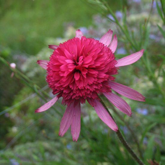 rudbeckia échinacée