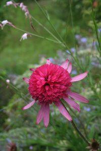 rudbeckia échinacée vivaces jardin de fleurs