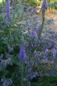 nepeta six hill giant veronica spicata