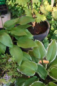 hosta plante en pot
