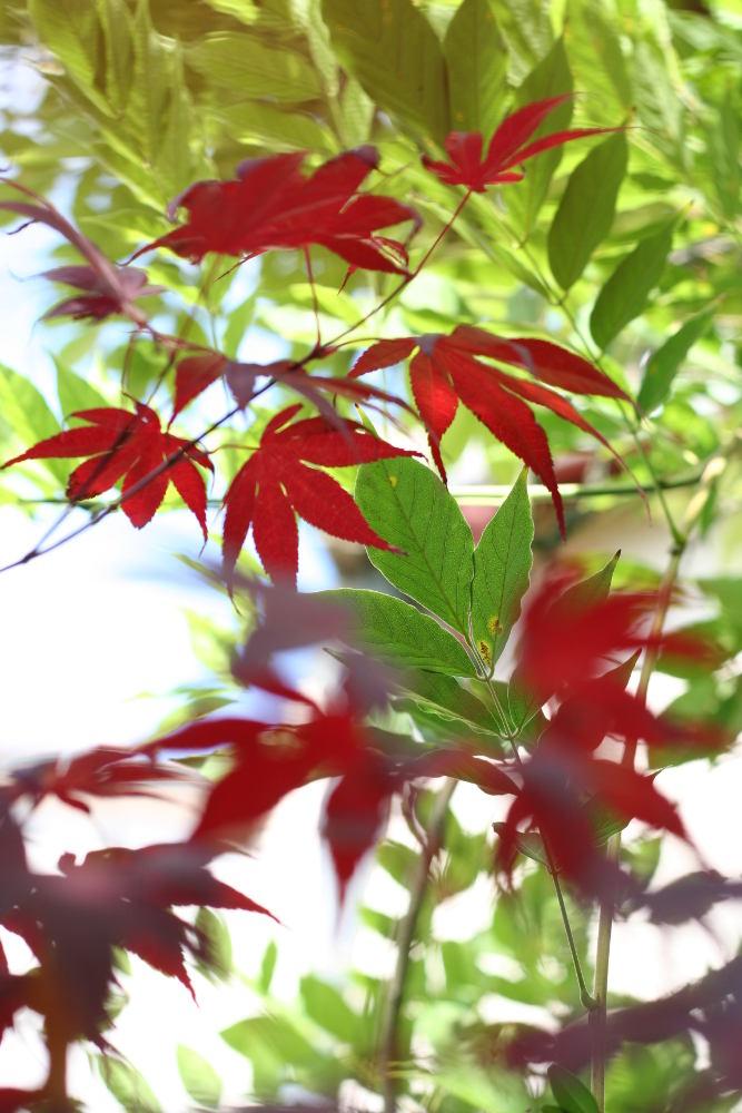 feuille erable acer japonicum
