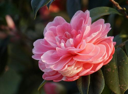 camélias camellia