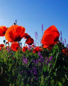 prairie fleurie coquelicot