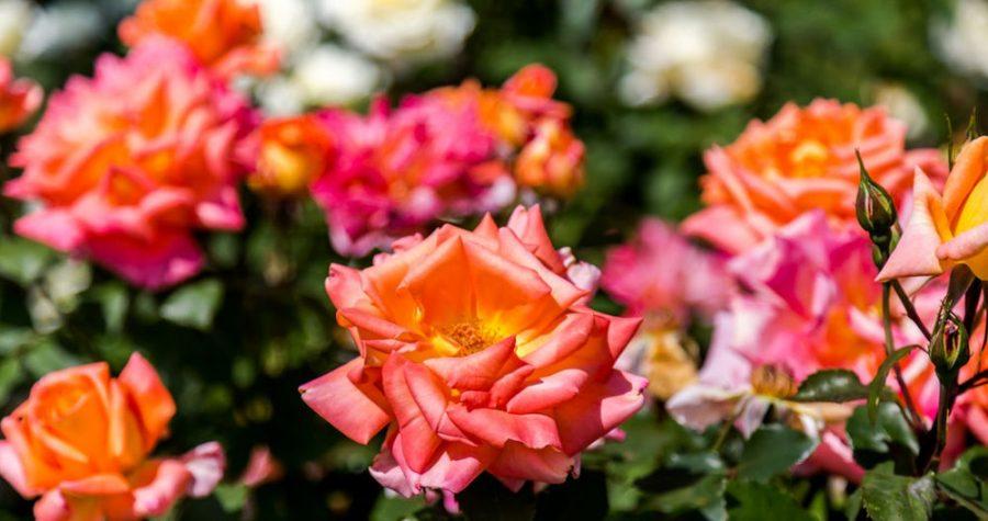 bouture de rosier