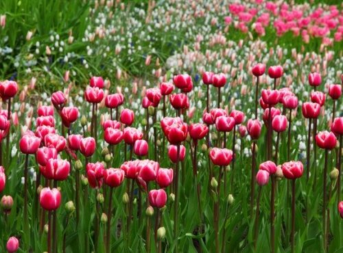 tulipe paysagiste bordeaux